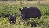 شرطة جنوب أفريقيا توقف شحنة من قرون وحيد القرن وتعتقل شخصين