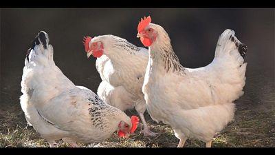 Caritas: per Pasqua regalate le galline