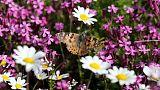 أسراب من الفراشات تحلق في مروج لبنان بأعداد لم تحدث منذ 100 عام