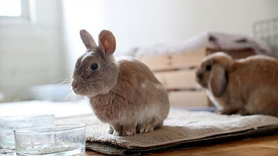 Ban the bunny - California aims to end post-Easter parade of unwanted rabbits