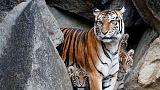 """نمر يهاجم حارسة جمعته """"صدفة سيئة"""" بها في حديقة حيوان أمريكية"""
