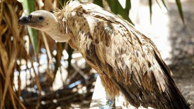 Nelson, vautour bulgare échoué au Yémen en guerre et soupçonné d'espionnage