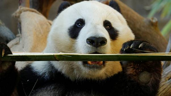 Giant pandas set to leave San Diego Zoo after two-decade loan from China