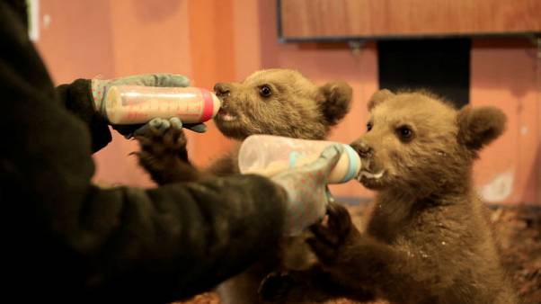 Without their mother, bear cubs Bradley and Cooper train for the wild