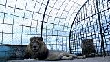 Maltreated lions rescued from Albanian zoo head to Dutch sanctuary