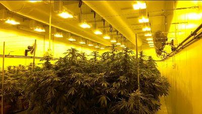 Cannabis terapeutica,produzione aumenta