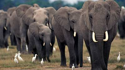 African elephants under continued threat of poaching, warns UN-backed report