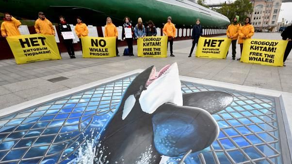 Russian plan to free whales risks their survival, say scientists