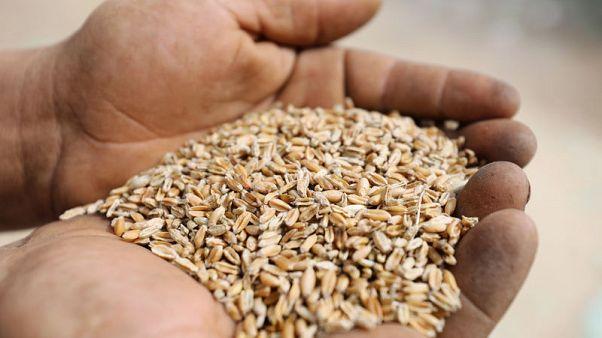مصر تشتري 2.2 مليون طن من القمح المحلي منذ بداية الموسم