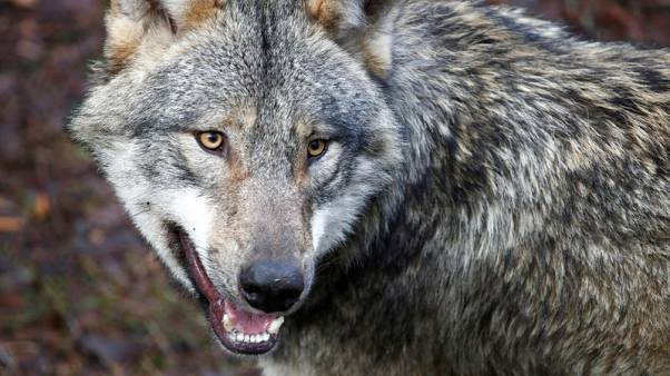 Germany eases curbs on shooting wolves, in nod to farmers