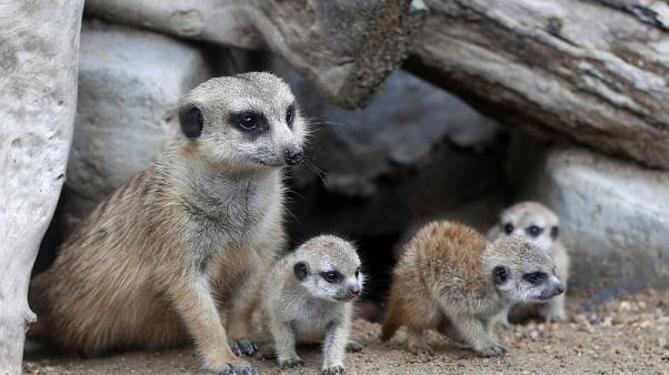Four new baby meerkats melt hearts at a Thai zoo