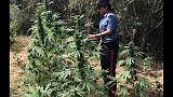 Coltivazioni droga in Aspromonte,arresti