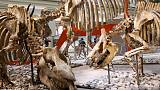 T. rex finds a dangerous meal as Smithsonian dinosaur hall reopens