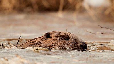 'Aphrodisiac' beavers good for food, says Polish minister