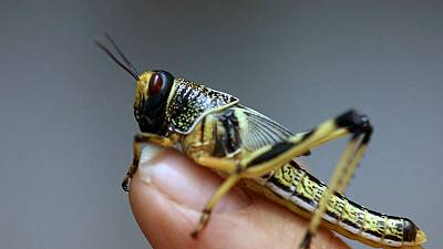 Sardinia hit by worst locust invasion for 70 years