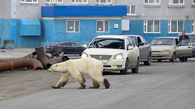 Exhausted polar bear wanders into Siberian city