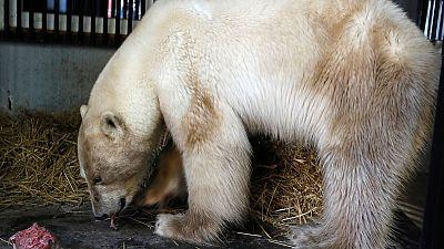 Lost polar bear taken to Siberian zoo to be treated