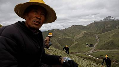 As Chinese mountains get hotter, hunt for 'cure-all' fungus gets harder