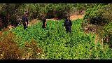 C.Smeralda, maxi piantagione marijuana