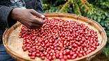 Premium prices attract small farmers back to coffee growing in Zimbabwe