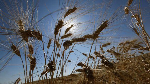 وزارة: تونس تتوقع ارتفاع محصول الحبوب هذا العام إلى 2.1 مليون طن