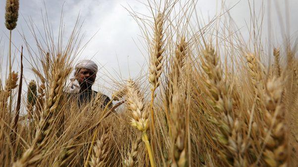 مصحح-مصر تشتري 3.27 مليون طن من القمح المحلي في موسم الحصاد الحالي