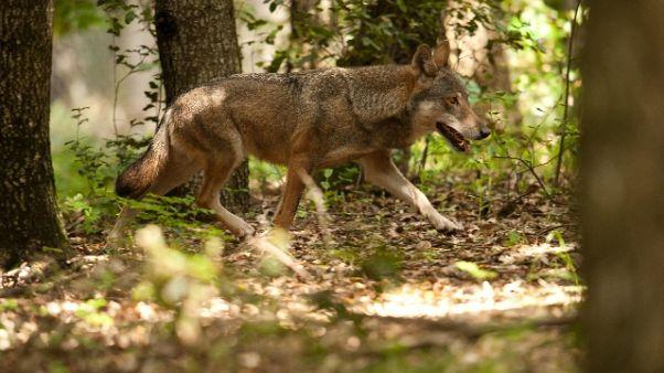 Consulta, legittime leggi su orsi e lupi
