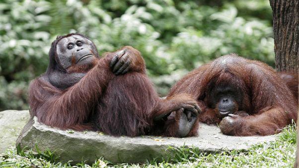 منظمة: تراجع أعداد إنسان الغاب بمزارع نخيل الزيت في ماليزيا