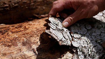 French forests scarred as heatwaves bring bark beetle infestation