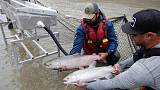 Canada airlifting thousands of trapped migrating salmon upstream