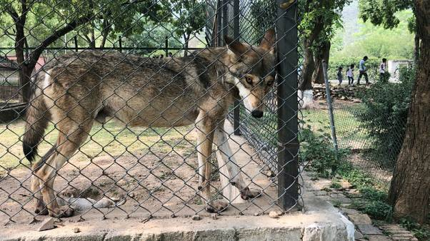 Skinny wolves, sick bear: Pakistan officials wrangle over zoo