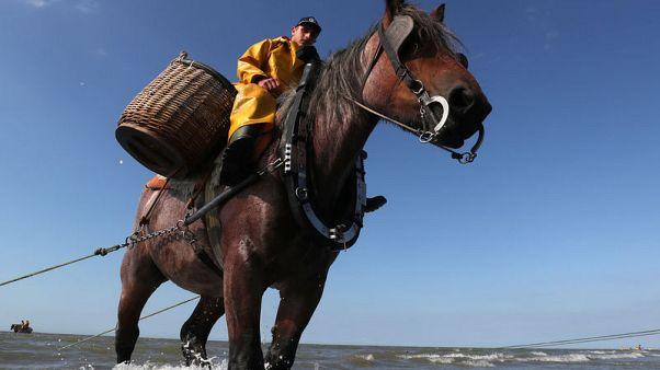 في بلجيكا الخيول تجر شبكات صيد الجمبري في تقليد لم يتغير منذ 600 عام