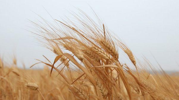 تجار: شركة الصوامع الأردنية تشتري 25 ألف طن من القمح في مناقصة