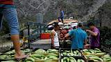 Amid rising hunger, Venezuela plantain crops threatened by fungus - agronomists
