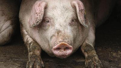 Spread of African swine fever in Bulgaria 'worrying' - EU Commission
