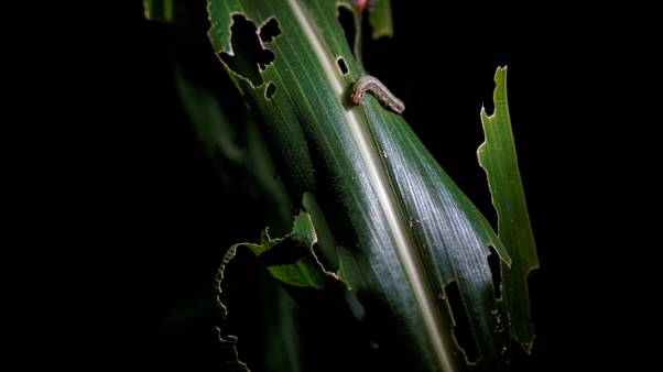 Crop invaders: China's small farmers struggle to defeat armyworm
