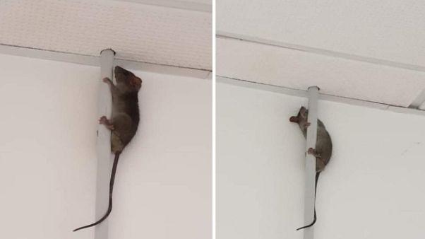 Ospedale Fabriano, topi in spogliatoio