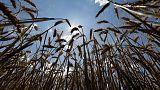 شركة تجارة: القمح الروماني لا يستطيع تلبية معيار الجزائر بشأن أضرار الحشرات