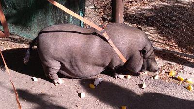 Catturato maiale thailandese a Firenze