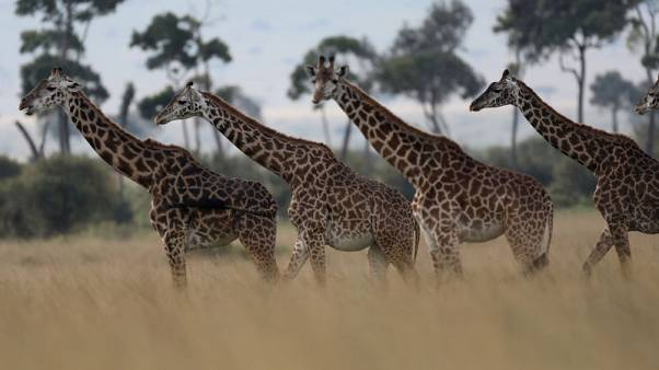 Trade in giraffes to be regulated for first time - CITES