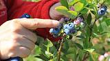 EU set to halt imports of Canadian cherries, other fruits - document