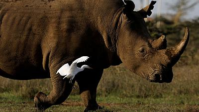 Eggs from last northern white rhinos fertilised, scientists say