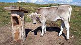 Uccisa da mucca, vittima corresponsabile