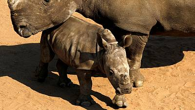 Namibia considers withdrawal from wildlife convention unless rhino trade eased