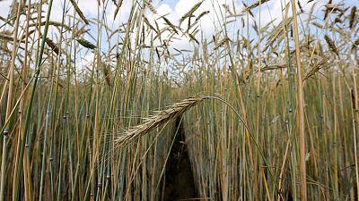 مصر تشتري 350 ألف طن من القمح الروسي والأوكراني والفرنسي