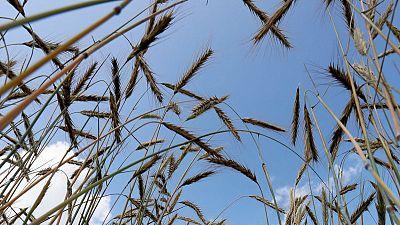 تجار: الأردن يشتري 60 ألف طن من القمح الصلد في مناقصة