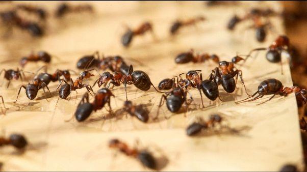 Formiche in ospedale Pescia,disinfezione