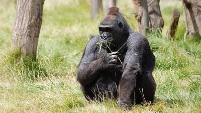 Rwanda visit highlights Gorilla climate change fight