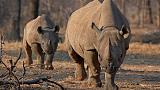Rare black rhinos relocated to Tanzania in Serengeti repopulation plan