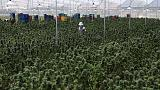 Facing stiff competition, will Colombia's marijuana industry go up in smoke?